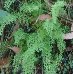Lindsaea microphylla (Lacy Wedge-fern) at Conjola Bushcare - 19 May 2018 by Stewart