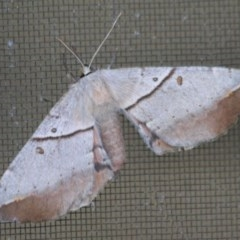Chelepteryx chalepteryx (White Stemmed Wattle Moth) at Ulladulla, NSW - 16 May 2012 by CBrandis
