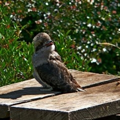 Dacelo novaeguineae (Laughing Kookaburra) at Brogo, NSW - 9 Dec 2006 by MaxCampbell