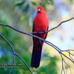 Alisterus scapularis (Australian King-parrot) at Burrill Lake Aboriginal Cave Walking Track - 5 Mar 2018 by Charles Dove