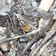 Apis (Apis) mellifera (Honey Bee) at McDonald State Forest - 21 May 2018 by Stewart