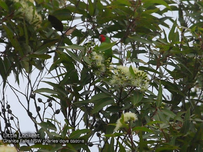 Glossopsitta pusilla at Morton National Park - 4 Mar 2018
