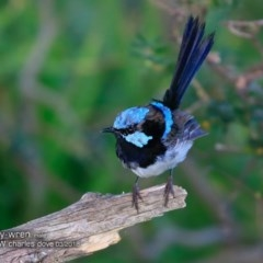 Malurus cyaneus (Superb Fairy-wren) at Undefined - 9 Mar 2018 by Charles Dove
