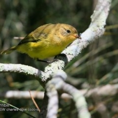 Acanthiza nana (Yellow Thornbill) at Undefined - 9 Mar 2018 by Charles Dove