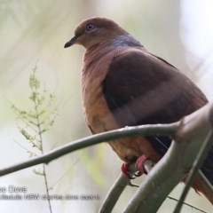Macropygia (Macropygia) amboinensis (Brown Cuckoo-dove) at Ulladulla - Millards Creek - 10 Mar 2018 by Charles Dove