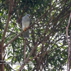 Accipiter novaehollandiae (Grey Goshawk) at Ulladulla - Millards Creek - 10 Mar 2018 by Charles Dove