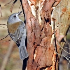 Colluricincla harmonica (Grey Shrike-thrush) at Tidbinbilla Nature Reserve - 21 May 2018 by RodDeb