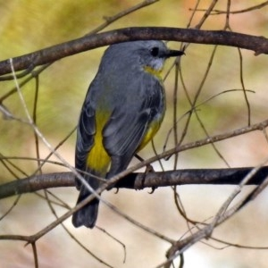 Eopsaltria australis at Tidbinbilla Nature Reserve - 21 May 2018