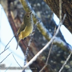 Acanthiza pusilla (Brown Thornbill) at South Pacific Heathland Reserve - 22 Mar 2018 by Charles Dove