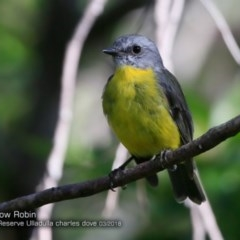 Eopsaltria australis (Eastern Yellow Robin) at South Pacific Heathland Reserve - 24 Mar 2018 by Charles Dove