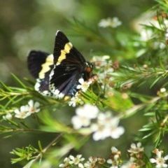 Eutrichopidia latinus (Yellow-banded Day-moth) at ANBG - 13 Feb 2011 by KMcCue