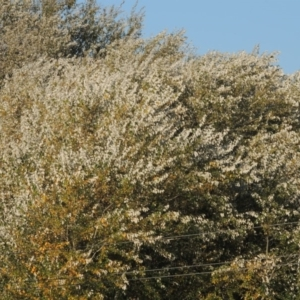 Populus alba at Jerrabomberra Wetlands - 9 May 2018