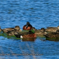 Anas castanea (Chestnut Teal) at Jervis Bay National Park - 16 Sep 2017 by Charles Dove