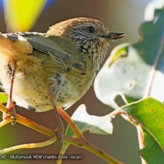 Acanthiza lineata (Striated Thornbill) at Undefined - 7 Sep 2017 by Charles Dove