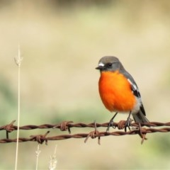 Petroica phoenicea (Flame Robin) at Paddys River, ACT - 23 May 2018 by KumikoCallaway