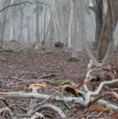 Sus scrofa (Feral Pig) at Lake George, NSW - 22 May 2018 by MPennay