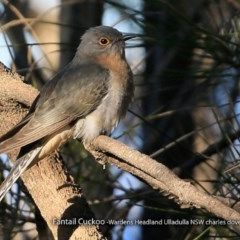 Cacomantis flabelliformis (Fan-tailed Cuckoo) at Coomee Nulunga Cultural Walking Track - 1 Sep 2017 by Charles Dove