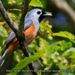 Monarcha melanopsis (Black-faced Monarch) at Undefined - 29 Oct 2017 by Charles Dove