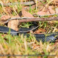 Pseudechis porphyriacus (Red-bellied Black Snake) at Undefined - 2 Oct 2017 by Charles Dove