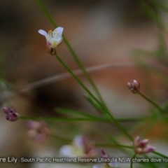 Laxmannia gracilis (Wire-lily) at South Pacific Heathland Reserve - 5 Oct 2017 by Charles Dove