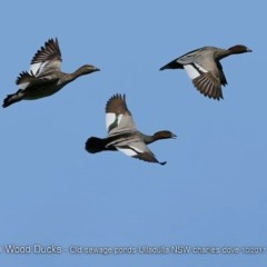 Chenonetta jubata (Wood Duck) at Undefined - 22 Oct 2017 by Charles Dove