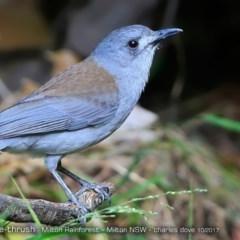 Colluricincla harmonica (Grey Shrike-thrush) at Milton Rainforest Walking Track - 20 Oct 2017 by Charles Dove