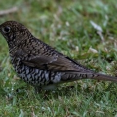 Zoothera lunulata (Bassian Thrush) at FS Private Property - 24 May 2018 by Stewart