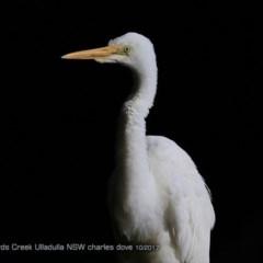 Ardea alba (Great Egret) at Ulladulla - Millards Creek - 9 Oct 2017 by Charles Dove