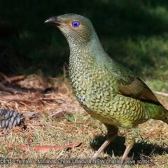Ptilonorhynchus violaceus (Satin Bowerbird) at Ulladulla - Millards Creek - 10 Oct 2017 by Charles Dove