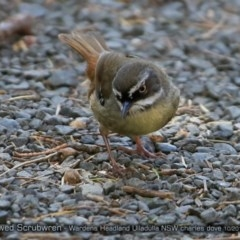 Sericornis frontalis (White-browed Scrubwren) at Coomee Nulunga Cultural Walking Track - 9 Oct 2017 by Charles Dove