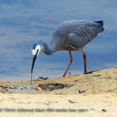Egretta novaehollandiae (White-faced Heron) at Undefined - 8 Oct 2017 by Charles Dove