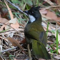 Psophodes olivaceus (Eastern Whipbird) at Ulladulla - Millards Creek - 7 Oct 2017 by Charles Dove