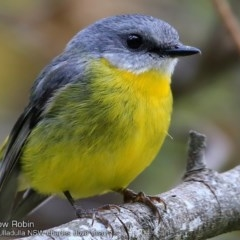 Eopsaltria australis (Eastern Yellow Robin) at Ulladulla - Millards Creek - 7 Oct 2017 by Charles Dove