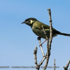 Meliphaga lewinii (Lewin's Honeyeater) at South Pacific Heathland Reserve - 6 Oct 2017 by Charles Dove