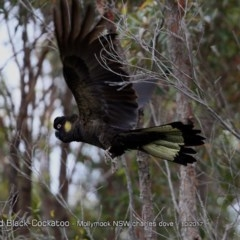 Calyptorhynchus funereus (Yellow-tailed Black-cockatoo) at Undefined - 3 Oct 2017 by Charles Dove