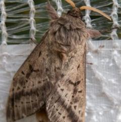 Oxycanus silvanus (Pale Oxycanus) at Chapman, ACT - 25 May 2018 by SWishart