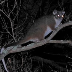 Pseudocheirus peregrinus (Common Ringtail Possum) at Brogo, NSW - 25 May 2018 by MaxCampbell