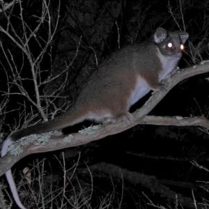 Pseudocheirus peregrinus at Brogo, NSW - 25 May 2018