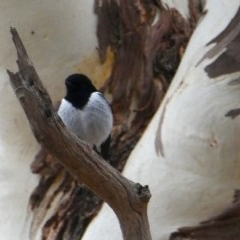 Melanodryas cucullata (Hooded Robin) at Environa, NSW - 26 May 2018 by Wandiyali