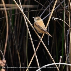 Acrocephalus australis (Australian Reed-Warbler) at Undefined - 5 Oct 2017 by Charles Dove