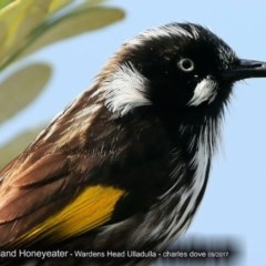 Phylidonyris novaehollandiae (New Holland Honeyeater) at Coomee Nulunga Cultural Walking Track - 4 Oct 2017 by Charles Dove