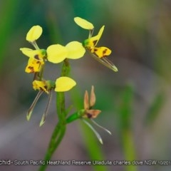Diuris sulphurea (Tiger Orchid) at South Pacific Heathland Reserve - 29 Oct 2017 by Charles Dove