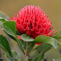 Telopea speciosissima (NSW Waratah) at South Pacific Heathland Reserve - 2 Oct 2017 by Charles Dove