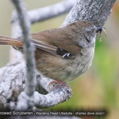 Sericornis frontalis (White-browed Scrubwren) at Coomee Nulunga Cultural Walking Track - 2 Oct 2017 by Charles Dove