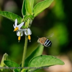 Amegilla sp. (Blue-banded Bee) at Wairo Beach and Dolphin Point - 26 Dec 2017 by Charles Dove