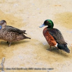 Anas castanea (Chestnut Teal) at Wairo Beach and Dolphin Point - 28 Nov 2017 by Charles Dove