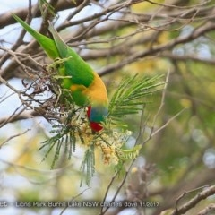 Glossopsitta concinna (Musk Lorikeet) at Wairo Beach and Dolphin Point - 26 Nov 2017 by Charles Dove