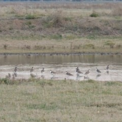 Vanellus miles (Masked Lapwing) at Jerrabomberra Wetlands - 8 May 2018 by michaelb