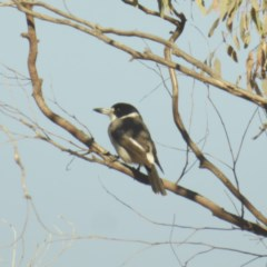 Cracticus torquatus (Grey Butcherbird) at Red Hill Nature Reserve - 19 May 2018 by JackyF