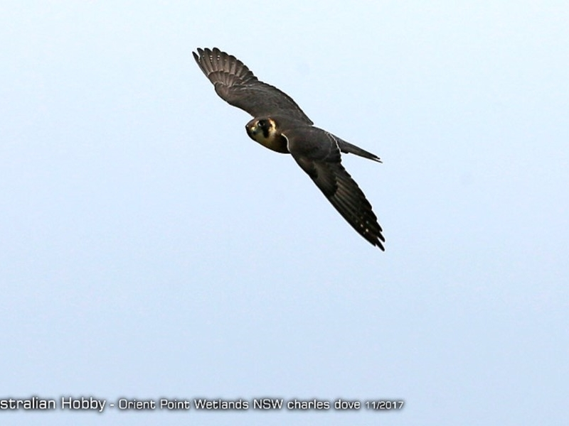 Falco longipennis at Orient Point Wetlands Bushcare - 24 Nov 2017